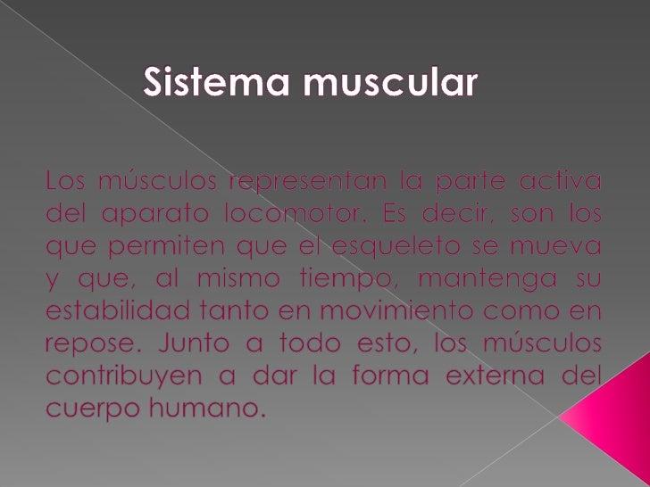 Sistema muscular<br />Los músculos representan la parte activa del aparato locomotor. Es decir, son los que permiten que e...