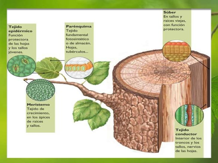diapositivas tejidos vegetales pptx 2010