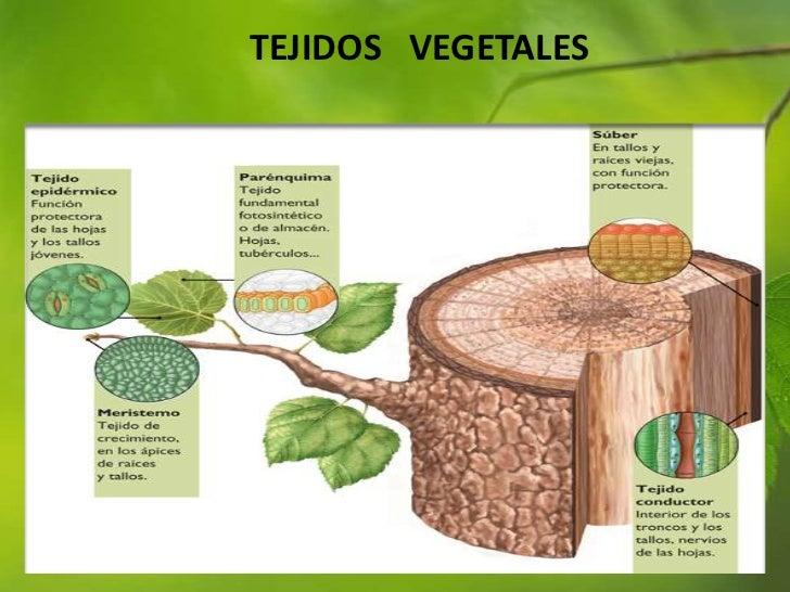diapositivas tejidos vegetales pptx 2010 On el arbol es un vegetal