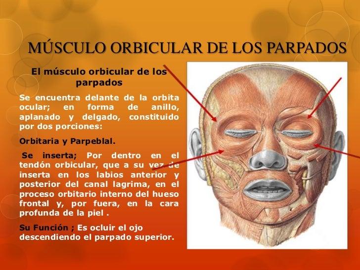 Músculos de la Cara Slide 3