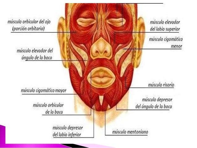 musculos de la cara, nervio y arteria facial