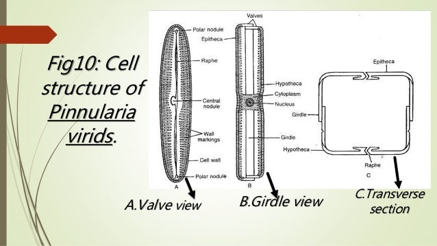 diatom cell diagram diatoms cell diagram labeling