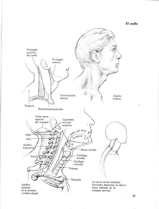 Asombroso Huesos Del Cuello Anatomía Foto - Imágenes de Anatomía ...