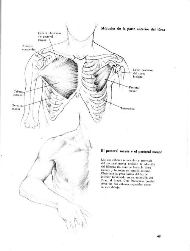 Lujo Los Huesos Del Tórax Anatomía Colección de Imágenes - Anatomía ...