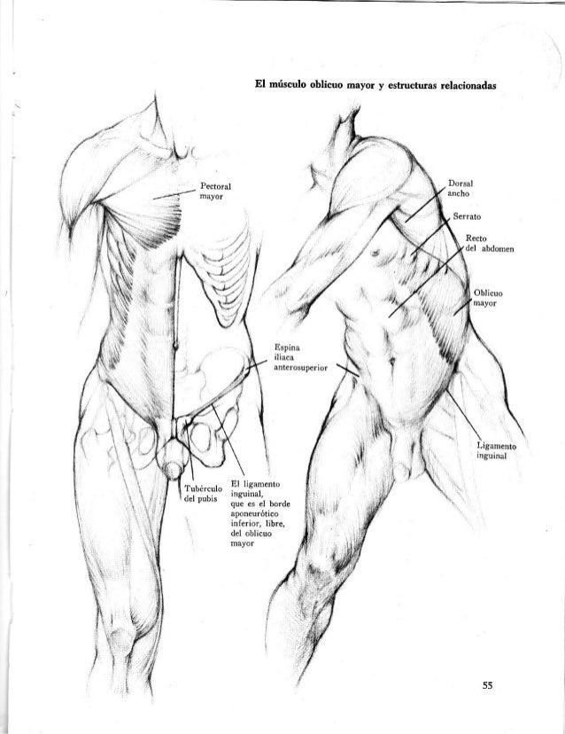 Dibujo anatã³mico de la figura humana hun[1]