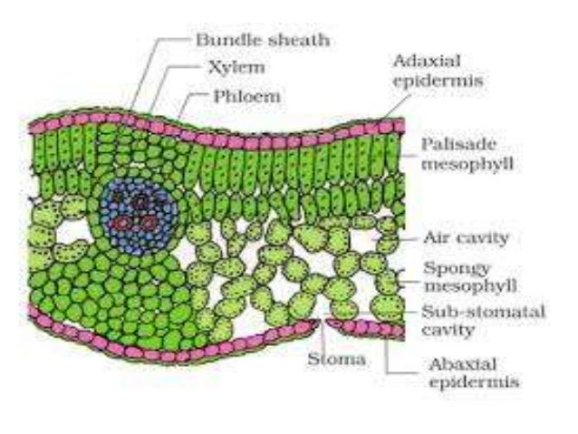 Ts of dicot leaf under a microscope (ppt) | easybiologyclass.