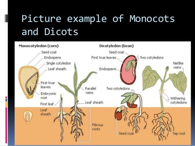 monocotyledonous and dicotyledonous plants What are some examples of dicotyledonous plants jack fruit etc are the examples of dicotyledonous plants of monocotyledon and dicotyledon plants.