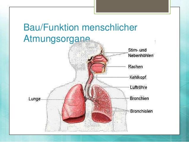 Die Atmung (Sek II)