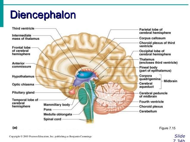 Anatomy of diencephalon