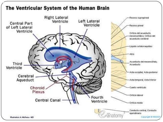 anatomía y fisiología de Diencéfalo