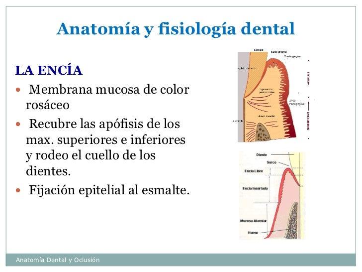 Magnífico La Anatomía Y La Fisiología De Las Encías Cresta ...
