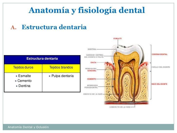 Vistoso Anatomía Y Fisiología De Los Dientes Molde - Anatomía de Las ...
