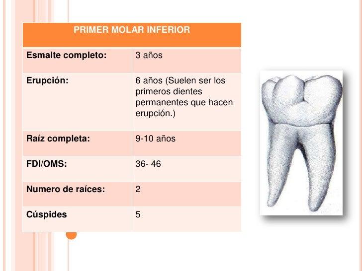 Único Anatomía Del Diente 14 Composición - Anatomía de Las ...