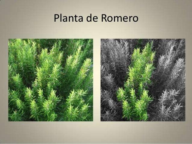 Diferentes tipos de plantas aromaticas for Tipos de plantas aromaticas