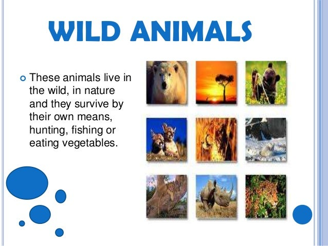 essay about wild animals This is a one thousand word essay for kids on the subject animals should not be kept in zoos the animals that we see in zoos are wild animals.