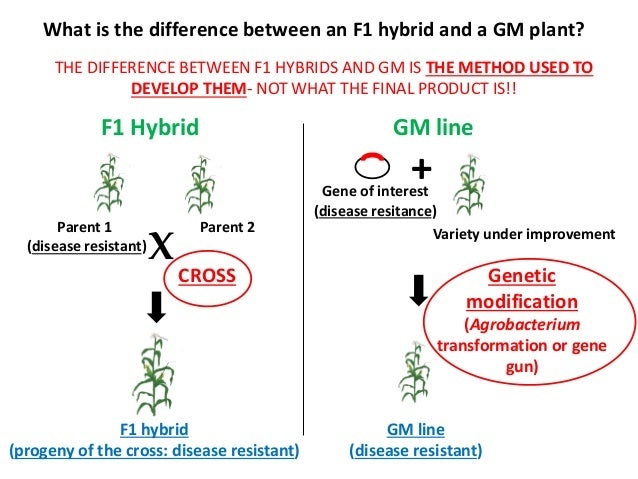What is the difference between an F1 hybrid and a GM plant? THE DIFFERENCE BETWEEN F1 HYBRIDS AND GM IS THE METHOD USED TO...