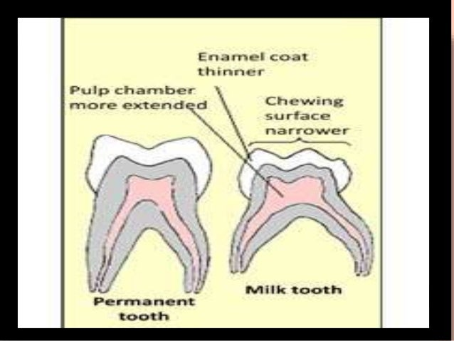 Differences between primary and permanent teeth