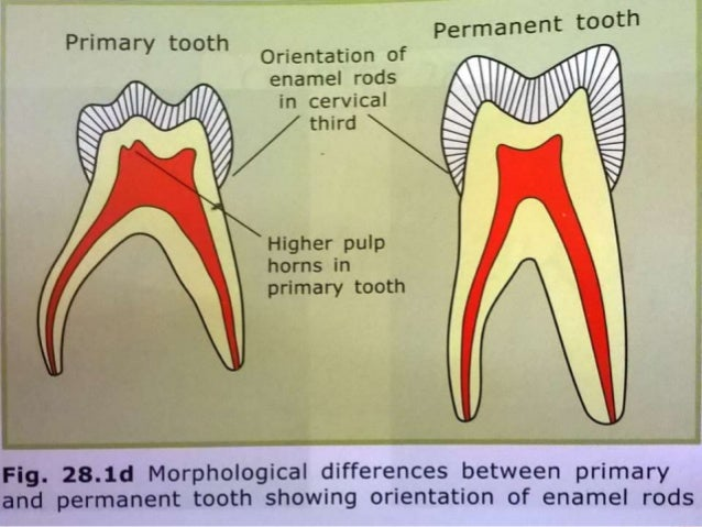 Differences between primary and permanent teeth primary teeth permanent teeth 17 ccuart Gallery