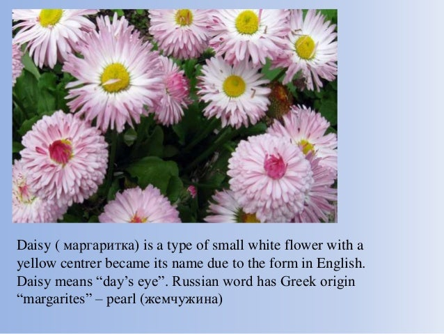Different countries similar flowers 20 daisy is a type of small white flower mightylinksfo