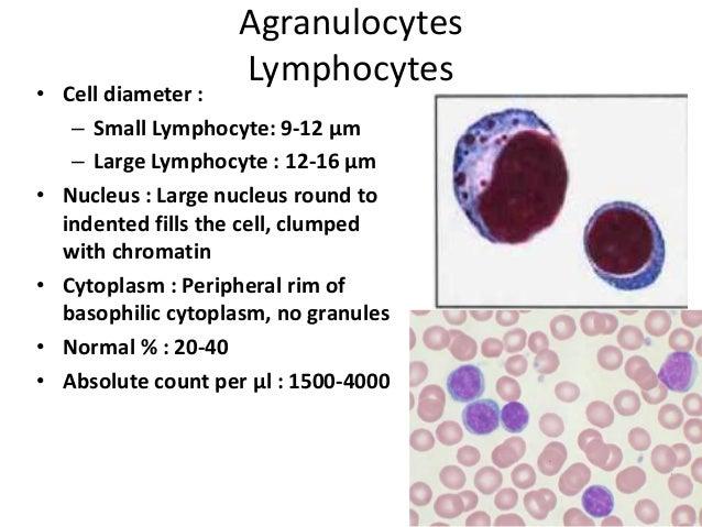 Agranulocytes Lymphocytes • Cell diameter : – Small Lymphocyte: 9-12 μm – Large Lymphocyte : 12-16 μm • Nucleus : Large nu...