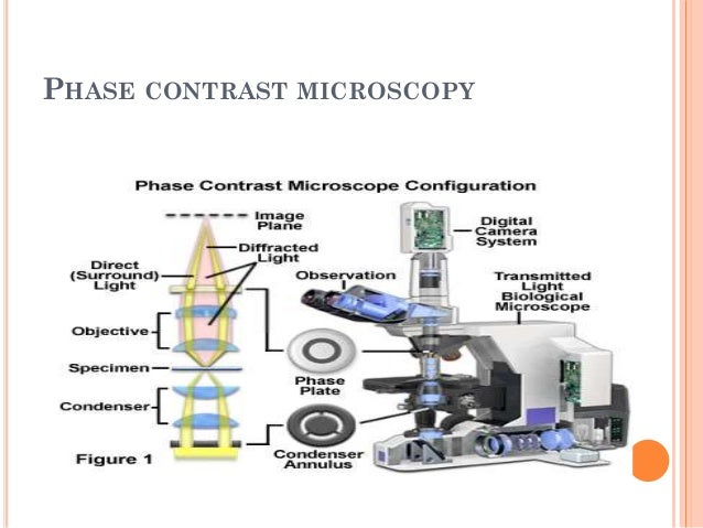 PHASE CONTRAST MICROSCOPY  Phase contrast microscopy uses an annular stop in the condenser and a phase plate within the o...