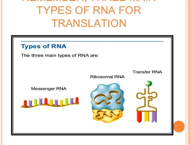 CONTD Monocistronic (one mRNA contains one gene) Half life: short (hours to days) Most heterogenous in size (depends on si...