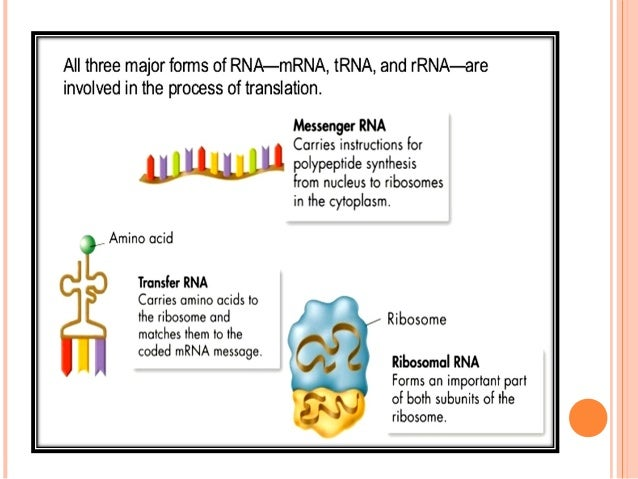 2. TRANSFER RNA An adaptormolecule that serves as the physical link between themRNAand theamino acidsequence of prote...
