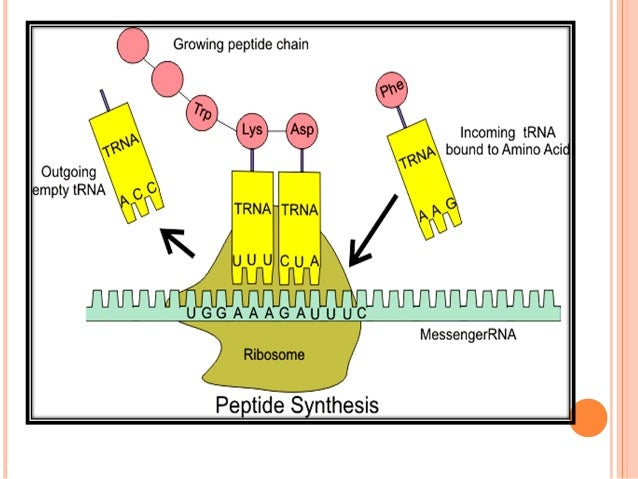 CONTD Function: tRNA acts as an adaptor molecule to recognize a definite codon on one hand & a specific AA on other hand. ...