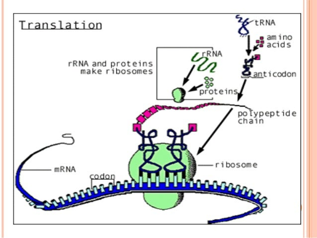 CONTD Each cycle can be described under 3 headings: A. Codon recognition B. Peptide bond formation C.Translocation