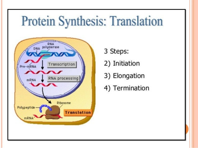 """3. TERMINATION Once a stop codon is reached, the """"A"""" site is positioned against it leading to termination of protein synth..."""
