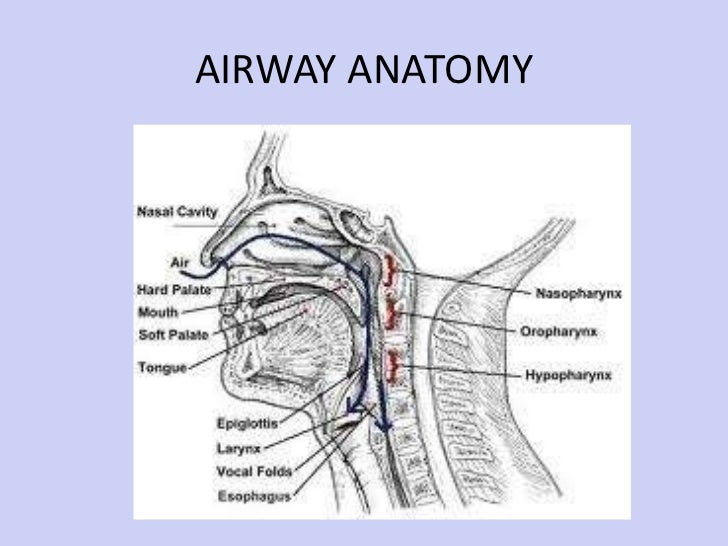 Airway anatomy for intubation