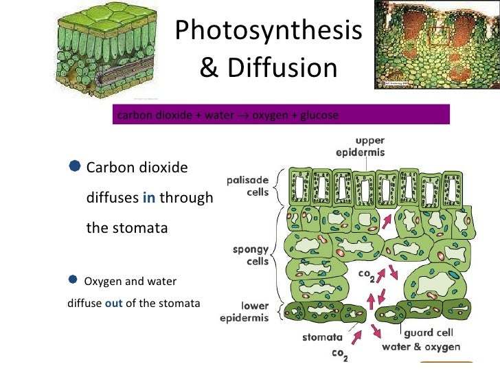 photosynthesis essay Photosynthesis essay: photosynthesis is the process of production of organic elements from carbon dioxide, water and energy of the sun by plants photosynthesis is the most essential process which occurs on our planet, due to which exists life on earth.