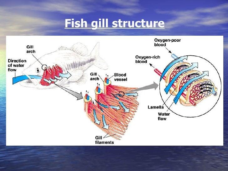 Diffusion Fish Gills Diagram House Wiring Diagram Symbols