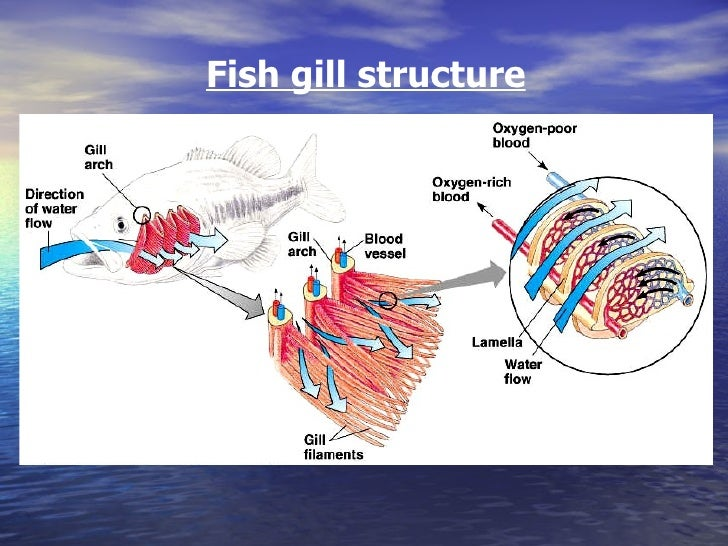 Diffusion in fish gills 15 fish ccuart Images