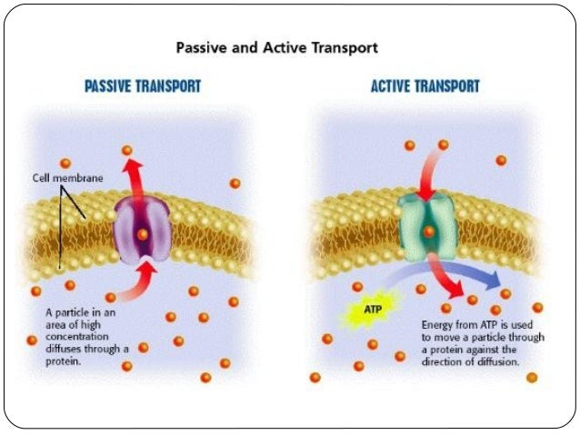 Grade 9 INTRA Difusion Osmosis and Active Transport – Passive and Active Transport Worksheet