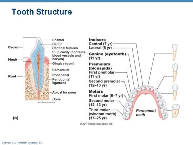 Tooth Diagram Pearson Circuit Diagram Symbols