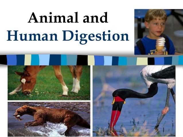 Animal andHuman Digestion  2006-2007
