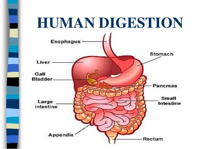 Digestive System: Facts, Function & Diseases