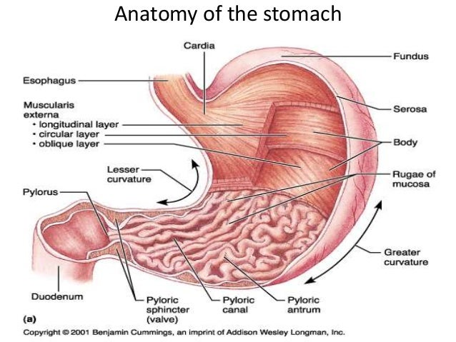 Digestion igcse stomach esophagus pylorus fundus body pyloric den duodenum 19 ccuart Gallery
