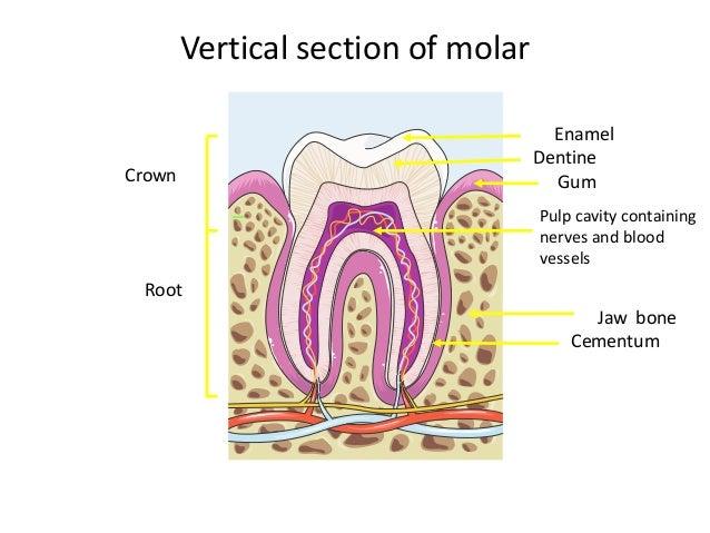 Igcse Incisor Tooth Diagram Wiring Diagram Detailed