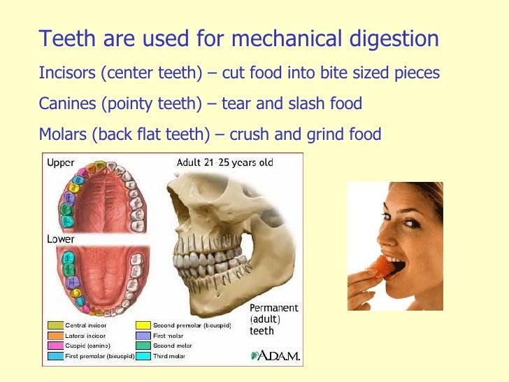 digestion, Human Body