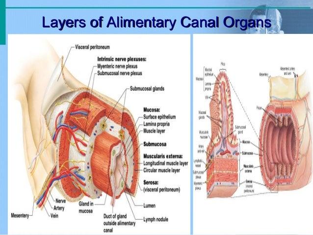Digestive system - anatomy