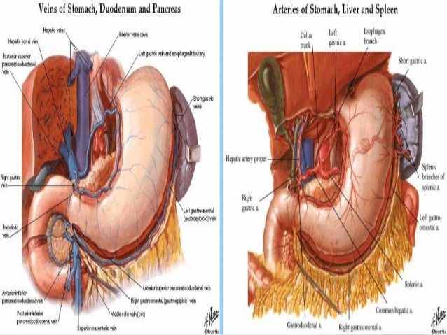 Digestive system anatomy stomach functionsstomach ccuart Choice Image