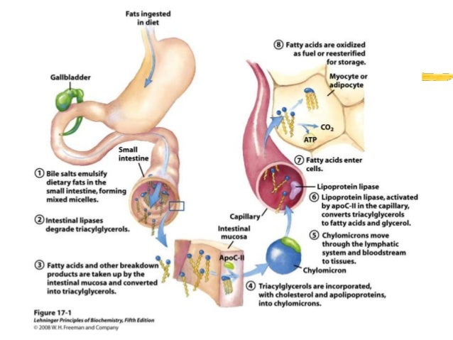 digestion absorption Proteins are absorbed as peptons , carbohydrates as sugars , and fats as fatty  acids there are mineral salts and vitamins( a,b,c,d ,e and k ) in addition to the.