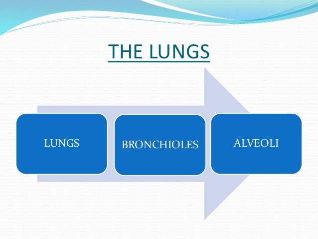 THE LUNGS  LUNGS BRONCHIOLES ALVEOLI
