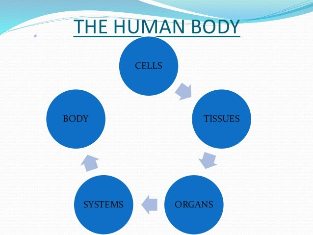 THE HUMAN BODY  CELLS  TISSUES  BODY  SYSTEMS ORGANS