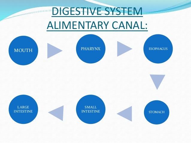 DIGESTIVE SYSTEM  ALIMENTARY CANAL:  MOUTH  LARGE  INTESTINE  PHARYNX ESOPHAGUS  SMALL  INTESTINE  STOMACH