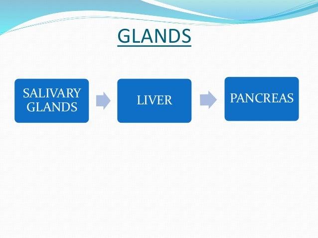 GLANDS  SALIVARY  GLANDS  LIVER PANCREAS