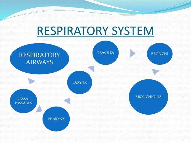 RESPIRATORY SYSTEM  RESPIRATORY  AIRWAYS  NASSAL  PASSAGES  PHARYNX  LARYNX  TRACHEA BRONCHI  BRONCHIOLES