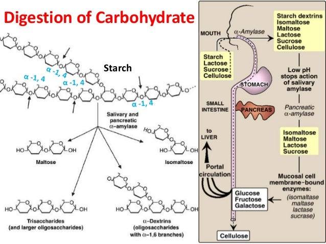 Digestion Biochemistry